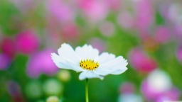 white_cosmos-wallpaper-3840x2160.jpg